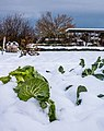 Vitoria - Huertas de Olarizu - Repollo en la nieve 01.jpg
