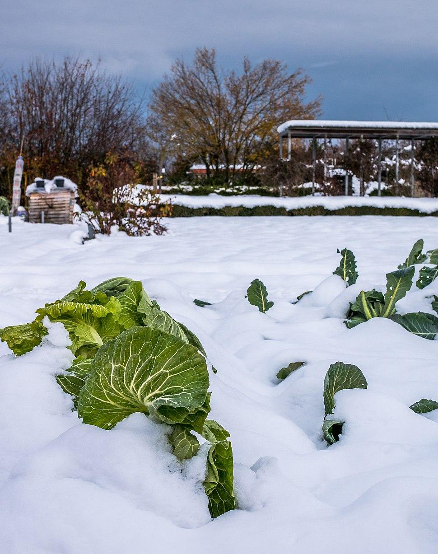 Vitoria - Huertas de Olarizu - Repollo en la nieve 01