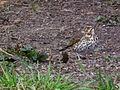Vogel mit gesprenkeltem Brustgefieder März 2013.JPG