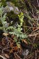 Vogelsberg Schotten Bilstein Summit det Jacobaea vulgaris E.png