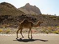 Wandering camel in Al-Dakhiliyah region (8729135765).jpg