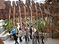Wankel Tyrannosaurus cast rib cage UCMP.JPG