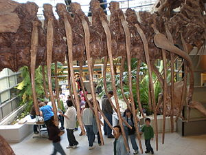 Rib cage - Tyrannosaurus rib cage, University of California Museum of Paleontology