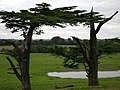 Warwick Castle Park, derelict cedars - geograph.org.uk - 1183518.jpg