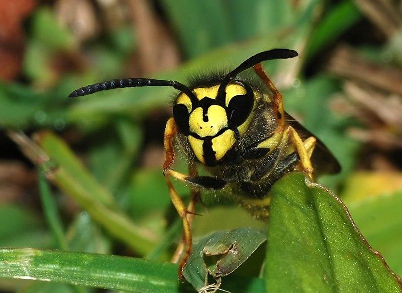 File:Wasp November 2007-3.jpg