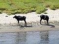 Water Buffalo in Nile River, Egypt (4058061965).jpg