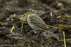 Water Pipit - Aosta Valley - Italy S4E3385 (17001017475).jpg