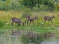 Waterbucks (Kobus ellipsiprymnus) (6889118450).jpg