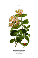 Wayside and woodland blossoms-0073-031-Lonicera caprifolium.png