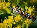 Webworm Moth-27527-1.jpg