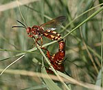Two red wasps with yellow stripes on their abdomens, mating.