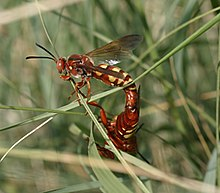 Two amber-yellow wasps, male above, female below, mate in some grass, tails touching.