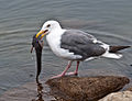 Western Gull with Plain Fin Midshipman (Porichthys notatus).jpg