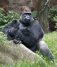 Western Lowland Gorilla at Bronx Zoo 2 cropped.jpg
