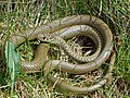 Western Whip Snake (Hierophis viridiflavus) female (Found by Jean NICOLAS) (14062814522).jpg