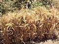WheatEgypt.JPG