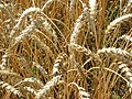 Wheat which has been fertilised with urine (just before harvest) (4864231334).jpg