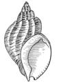 Whelk (PSF).png