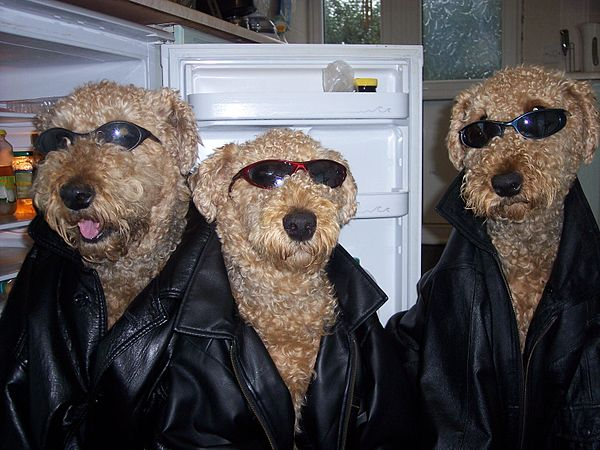 Airedales in the Kitchen
