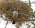 White-browed Sparrow-Weaver (Plocepasser mahali) 2.jpg
