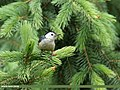 White-cheeked Nuthatch (Sitta leucopsis) (43848162190).jpg