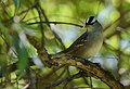 White-crowned Sparrow (34584745025).jpg