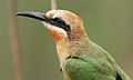 White-fronted Bee-eater, Merops bullockoides, at Rietvlei Nature Reserve, Gauteng, South Africa (15431210313).jpg