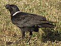 White-necked Raven Corvus albicollis Tanzania 3885 cropped Nevit.jpg
