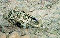 White-spotted puffer is being cleaned by Hawaiian cleaner wrasse2.jpg