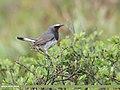 White-tailed Rubythroat (Luscinia pectoralis) (48618105192).jpg