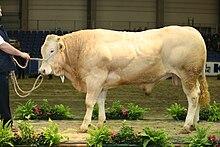 Blonde d'Aquitaine bull