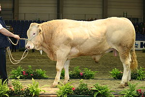 Beef cattle - A young bull of the Blonde d'Aquitaine breed.