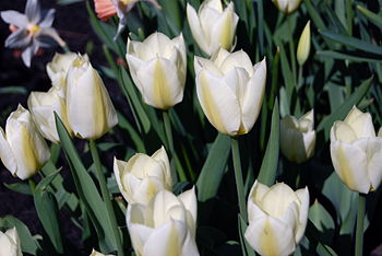 English: White tulips