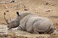 White rhinoceros or square-lipped rhinoceros, Ceratotherium simum. (17349074222).jpg