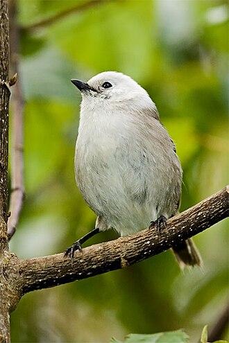 Whitehead (bird) - Image: Whitehead Mohoua albicilla