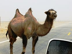 Wild Bactrian camel on road east of Yarkand.jpg