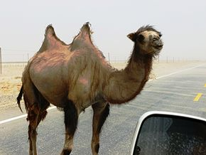 Description de l'image  Wild Bactrian camel on road east of Yarkand.jpg.