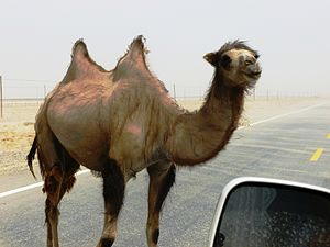 Camelid - Image: Wild Bactrian camel on road east of Yarkand