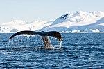 Wilhelmina Bay Antarctica Humpback Whale 9 (40371412603).jpg