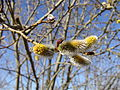 Willow catkin2.jpg