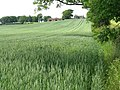 Winter wheat and Coates farm - geograph.org.uk - 1367032.jpg