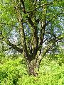 Winterlinde auf der Helgenwiese (Steinbach) 05.JPG