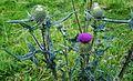 Wollige Kratzdistel - Cirsium eriophorum.jpg