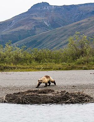 Gates of the Arctic National Park and Preserve - Wolverine on the bank of the Noatak River
