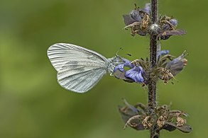 Wood white (Leptidea sinapis) female.jpg