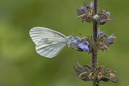 Wood white butterfly (Leptidea sinapis) female