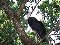 Woollynecked stork.JPG