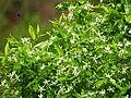 Wrightia tinctoria 0111.jpg
