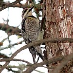 Yellow-bellied Sapsucker, female.jpg