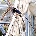 Yellow-billed blue magpie-1 Kandbari, Himachal Pradesh by Avyakta.jpg